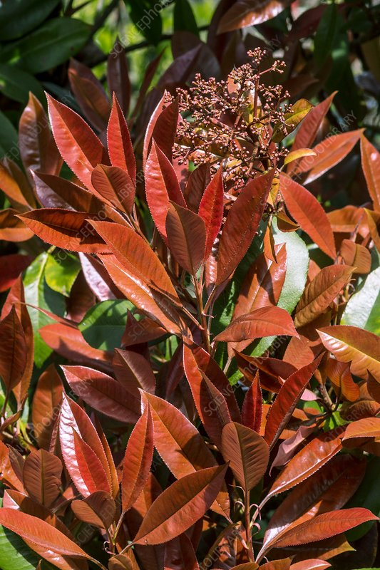 Young leaves of a Photinia x Fraseri 'Red Robin' shrub