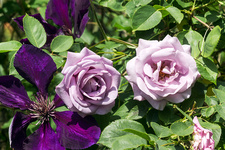 Climbing rose and Clematis 'Jackmanii Superba' flowers