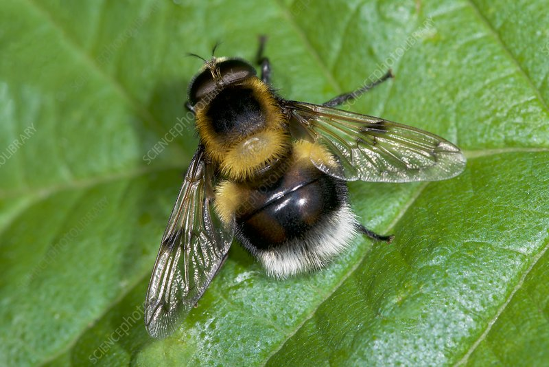 Bumblebee mimic hoverfly
