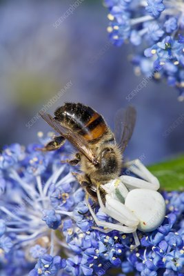 Crab spider feeding on honey bee