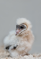 Young african barn owl