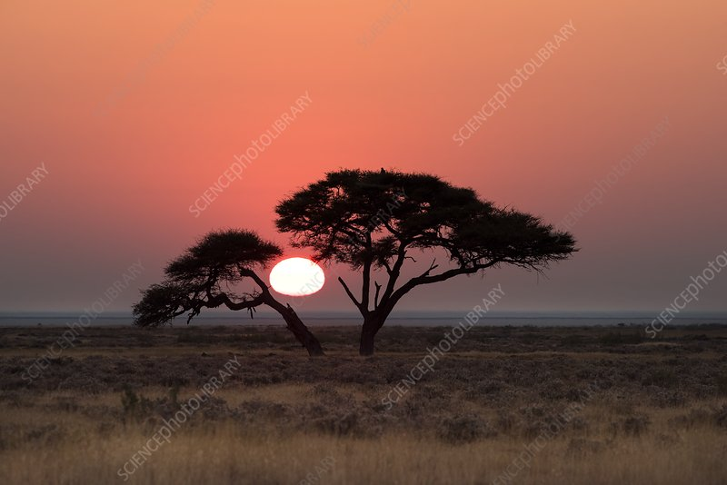 Etosha Camelthorn tree at Sunrise