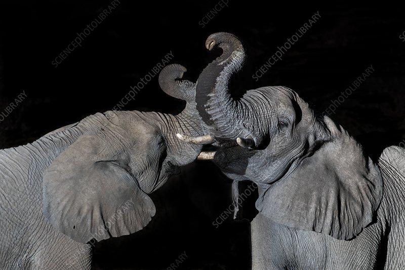 African Elephants drinking at night