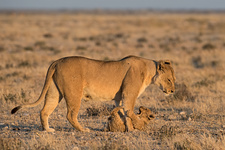 Lioness with playful cub