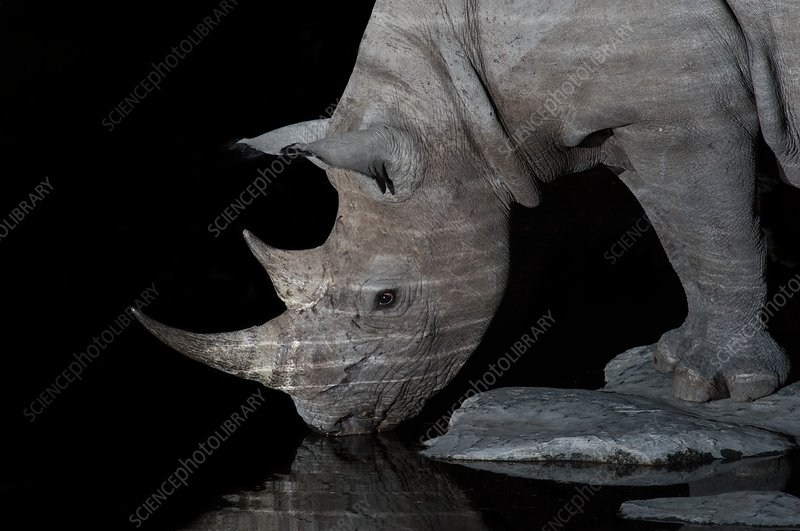 Black Rhinoceros at night