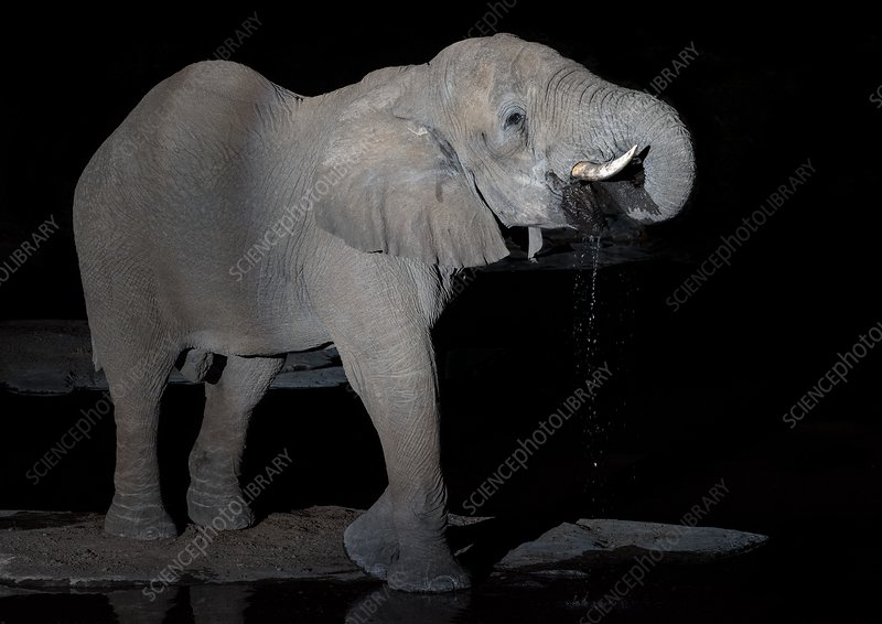 African Elephant drinking at night