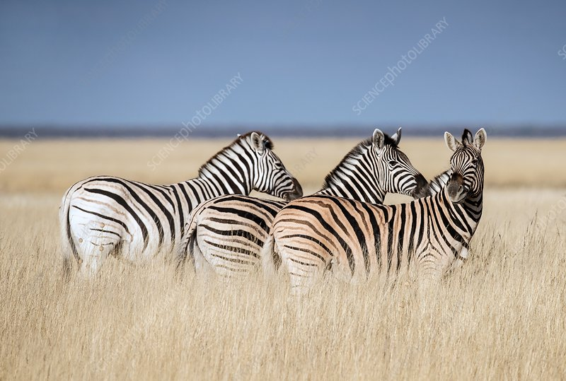 Zebras on a plain in Etosha National Park