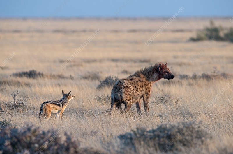 Black-backed Jackal with Spotted Hyena