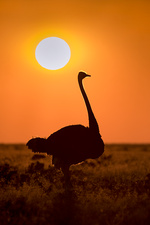 Southern Ostrich at Sunrise