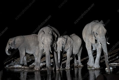 Herd of African Elephants at a water-hole