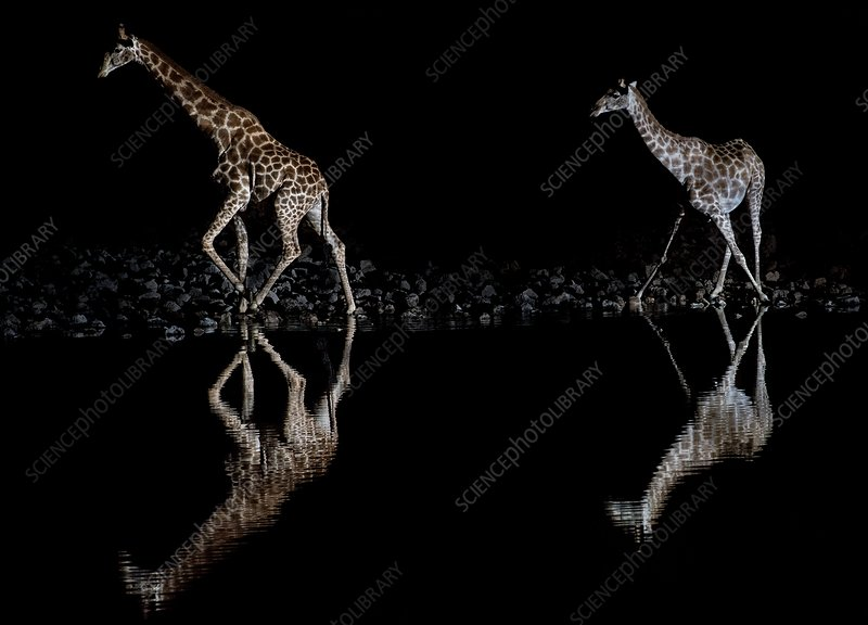 Giraffes at Okaukuejo waterhole at night