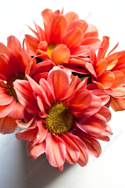 Chrysanthemum 'Barolo' flowers