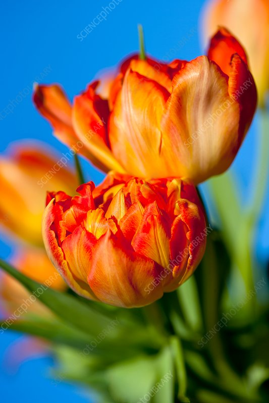Tulipa 'Orange Princess' flowers