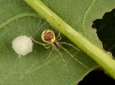 Theridion varians spider