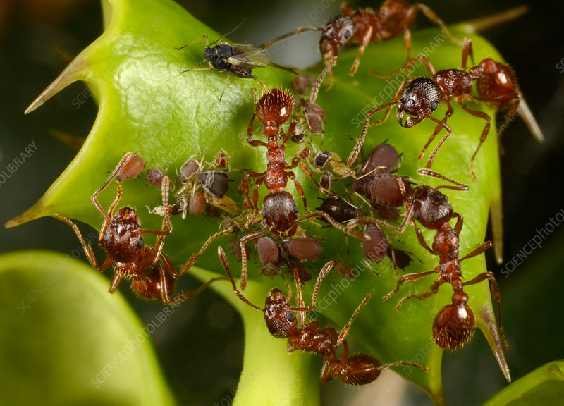 Common elbowed red ants