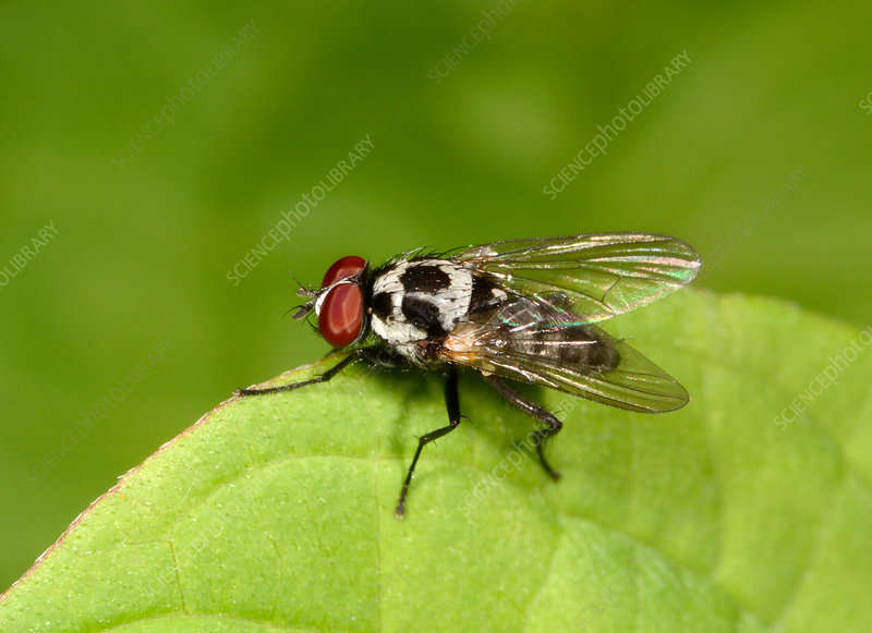 Anthomyiid fly