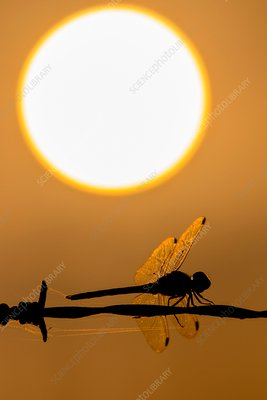 Dragonfly at sunset
