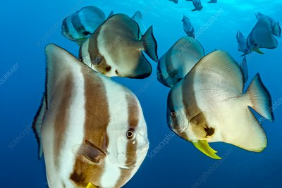 Longfin batfish, Maldives