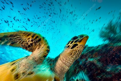 Hawksbill turtle on a reef, Maldives