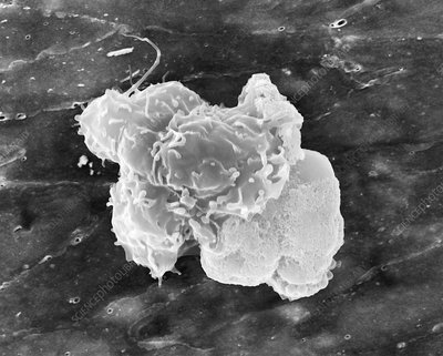 Blood monocyte, SEM