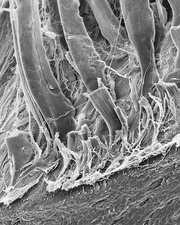 Tendons attached to bone surface, SEM