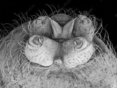 Female northern black widow spinnerets, SEM