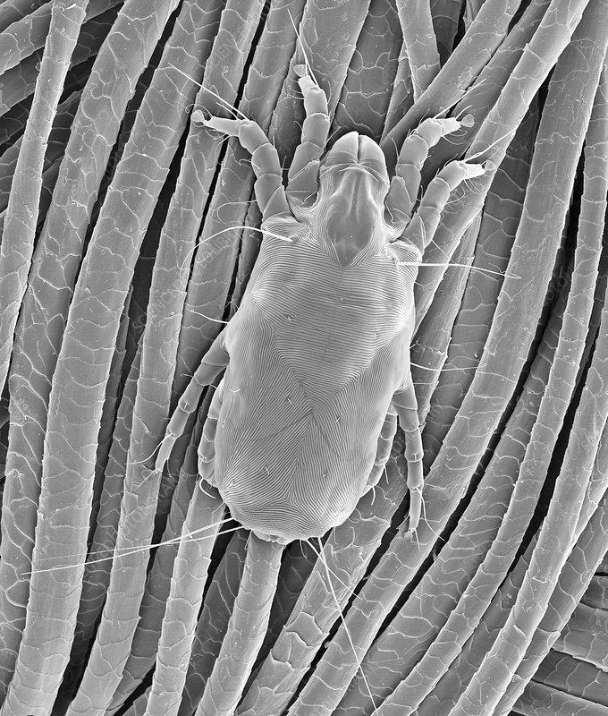 Dust mite on wool fabric, SEM