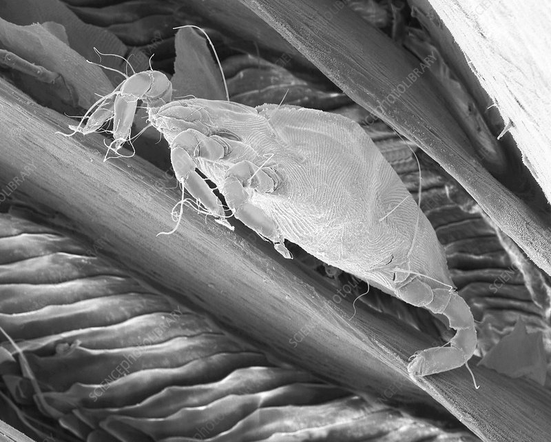 Bird mite between feather barbs, SEM