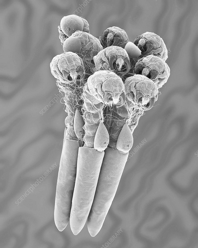 Mosquito egg raft with hatching larvae, SEM