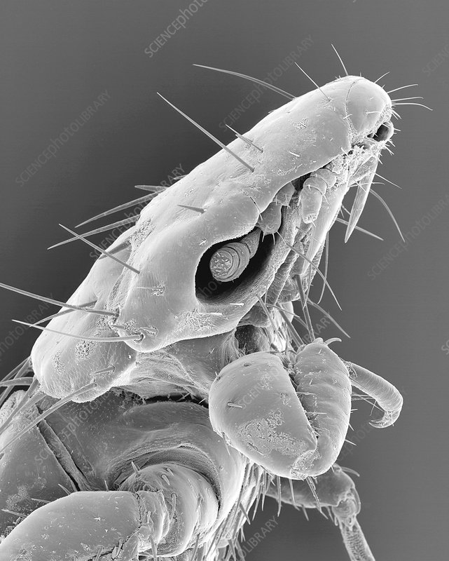 Dog chewing louse, SEM