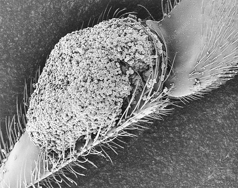 Bee pollen basket on rear leg, SEM