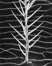 Honey bee exoskeleton branched seta, SEM