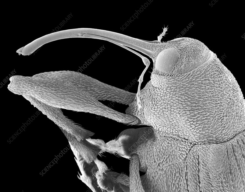 Snout or nut weevil, SEM
