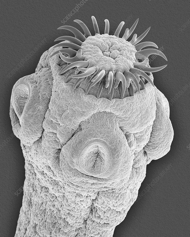 Mammal intestine tapeworm, SEM