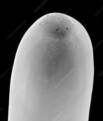 Dog heartworm stomodeum, SEM