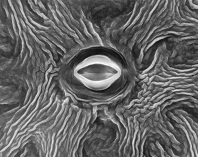 Stoma of a leaf (Dahlia sp.), SEM
