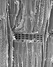 Pine wood (longitudinal section), SEM