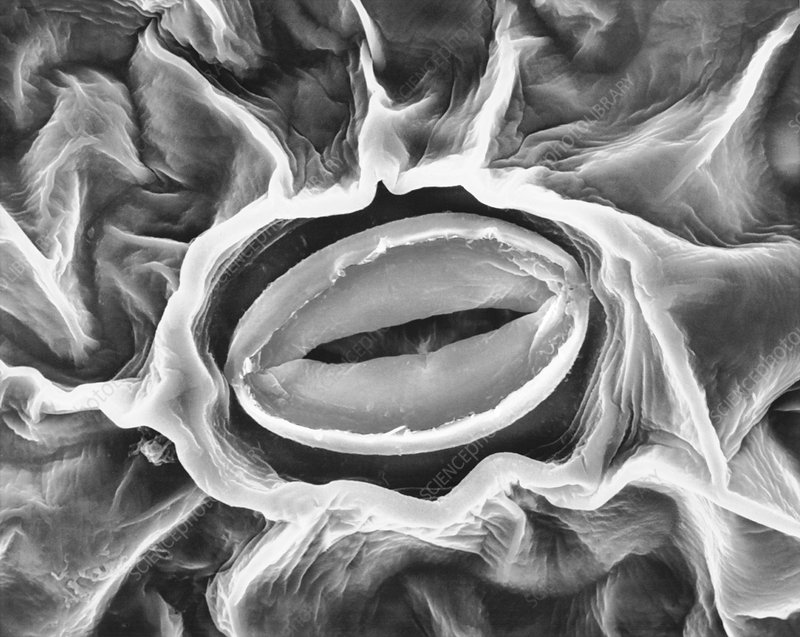Stoma of a broad bean leaf (Vicia faba), SEM