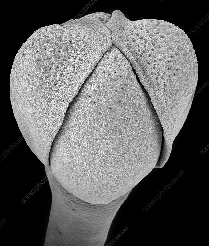 Broccoli flower bud and apical meristem, SEM