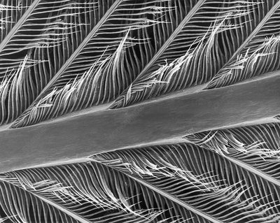 Parrot feather rachis, barbs and barbules, SEM