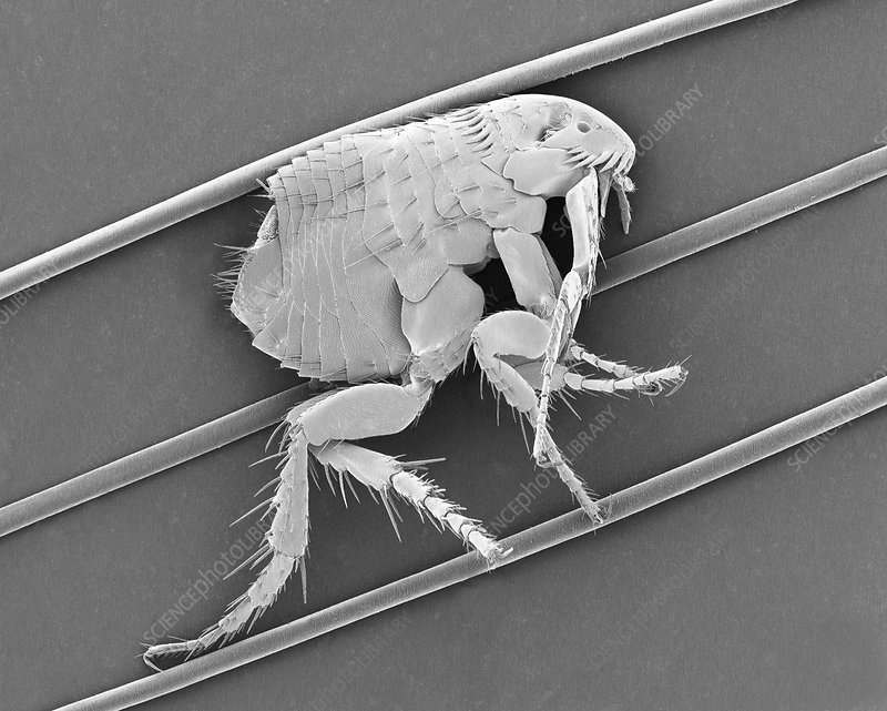 Dog flea on dog hair, SEM