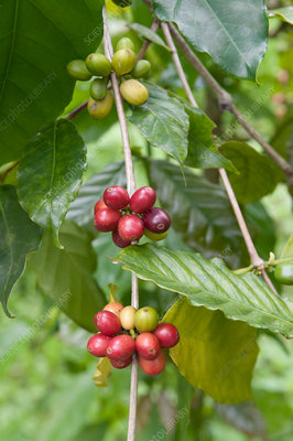 Coffee (Coffea sp.) plant in fruit