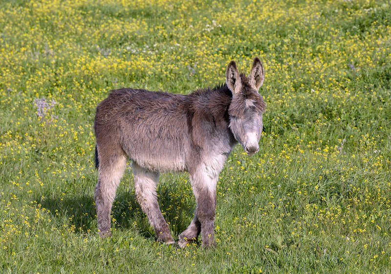 Donkey in flowery pasture