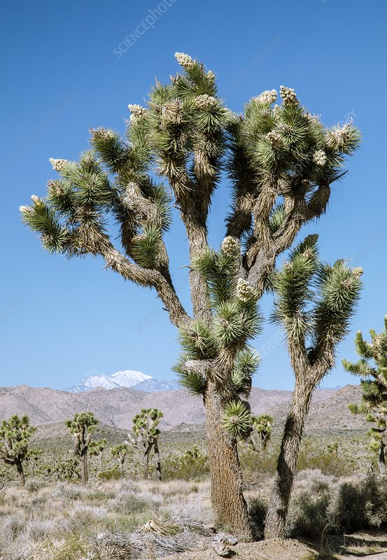 Joshua tree (Yucca brevifolia) in flower