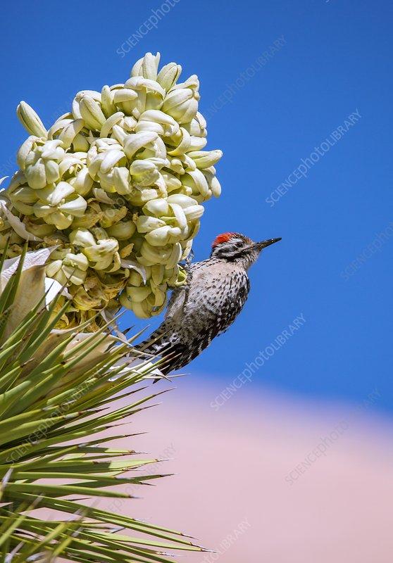 Ladder-backed woodpecker feeding