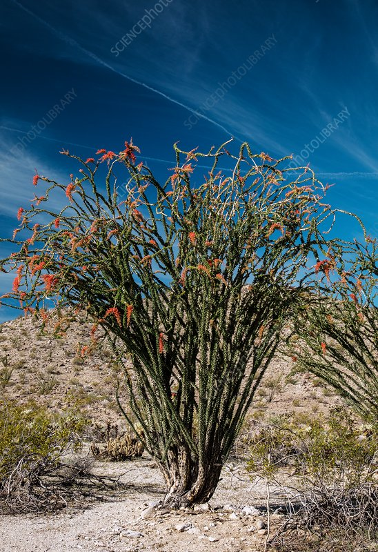 Ocotillo (Fouquieria splendens) in flower