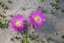 Hottentot-fig (Carpobrotus edulis) in flower