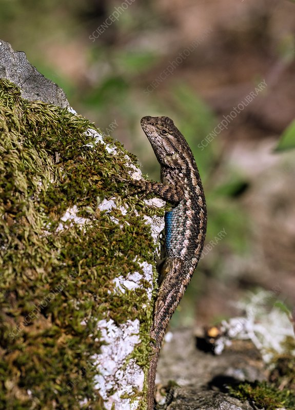 Coast range fence lizard on rocks, USA