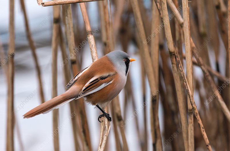 Male bearded tit among reeds
