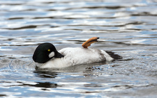 Male goldeneye preening